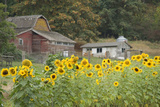 Canada  British Columbia  Cowichan Valley Sunflowers in Front of Old Buildings  Glenora
