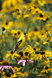 American Goldfinch Male on Black-Eyed SUSAns Marion County  Illinois