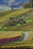 Germany  Baden-Wurttemburg  Black Forest  Gengenbach  Hillside Vineyards in Fall