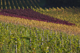 Germany  Baden-Wurttemburg  Black Forest  Gengenbach  Hillside Vineyards  Fall