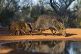 Collared Peccary Family at Pond