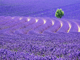 France, Provence, Lone Tree in Lavender Field Papier Photo par Terry Eggers