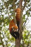 China  Chengdu  Wolong National Natural Reserve Lesser Panda in Tree