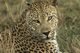Africa  Botswana  Savute Game Reserve Portrait of Resting Adult Leopard