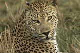 Africa  Botswana  Savute Game Reserve Portrait of Resting Adult Leopard