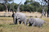 African Elephant  Khwai Concession  Okavango Delta  Botswana