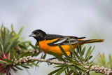 Baltimore Oriole Male Perched