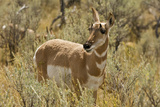 Female Pronghorn  Lamar Valley  Yellowstone National Park  Wyoming  USA