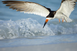 Black Skimmer Coming in for a Landing  Gulf of Mexico  Florida