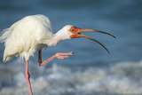 Adult White Ibis Scratching Along Shoreline  Gulf of Mexico  Florida