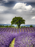 France  Provence  Lone Tree in Lavender Field