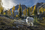 Adult Male Mountain Goat Near Horseshoe Lake in the Alpine Lakes Wilderness  Mt Stuart Behind