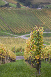 Germany  Baden-Wurttemburg  Badische Weinstrasse  Vineyards in the Fall