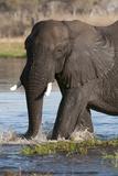 African Elephant  Okavango Delta  Botswana