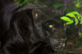 Black Jaguar  Belize City  Belize  Central America