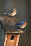 Eastern Bluebird Male and Female on Peterson Nest Box Marion County  Illinois