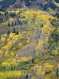 Colorado  White River National Forest  Autumn Colored Quaking Aspen and Conifers on Steep Slopes