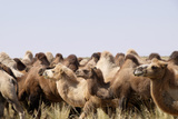 Asia  Western Mongolia  Lake Tolbo  Bactrian Camels