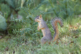 Eastern Fox Squirrel Foraging on Forest Floor