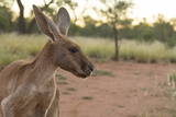 Australia, Alice Springs. Adult Female Kangaroo in Open Field Papier Photo par Cindy Miller Hopkins