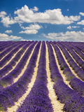 France  Provence  Lavender Field on the Valensole Plateau
