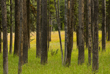 Evergreens  Meadow  Dunraven Pass  Yellowstone National Park  Wyoming  USA