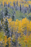 Colorado  Uncompahgre National Forest  Snowfall on Fall Colored Aspen and Spruce