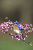 Eastern Bluebird Male in Redbud Tree in Spring  Marion  Il