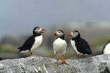 Atlantic Puffins  Machias Seal Island  Canada