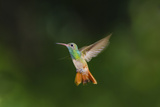 Buff-Bellied Hummingbird in Flight