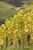 Germany  Baden-Wurttemburg  Badische Weinstrasse  Vineyards in the Fall