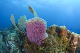 Azure Vase Sponge  Hol Chan Marine Reserve  Belize
