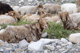 Asia  Western Mongolia  Khovd Province  Gashuun Suhayt River Valley Mongolian Cashmere Goats