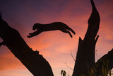 Africa  Botswana  Savuti Game Reserve Leopard Leaping from Branch to Branch at Sunset
