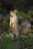 Eastern Fox Squirrel Watching for Predators