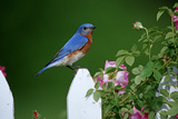 Eastern Bluebird Male on Picket Fence Near Pink Rose Bush Marion County  Illinois