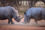 Africa  Namibia White Rhinos Fighting