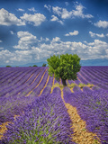 France  Provence  Valensole  Lone Tree in Lavender Field