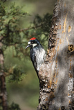 Acorn Woodpecker on Alligator Juniper