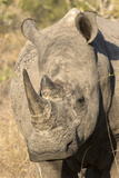 Africa  South Africa Close-Up of Rhinoceros