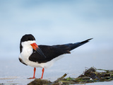 Black Skimmer Preening on Beach  Gulf of Mexico  Florida