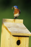 Eastern Bluebird Male with Mealworms at Nestbox Marion County  Illinois