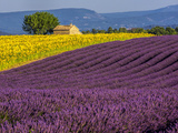 France  Provence  Old Farm House in Field of Lavender and Sunflowers