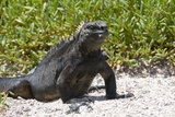 Galapagos Marine Iguana  West Coast of San Cristobal Island  Galapagos Islands