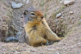 Columbia Ground Squirrel  Rogers Pass  Glacier National Park  British Columbia  Canada