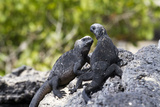 Galapagos Marine Iguanas on the Beach  Isabela Island  Galapagos Islands