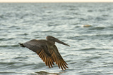 Brown Pelican Close-Up  Flying over Water