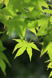 Bright Green Japanese Maple Trees in their Spring Foliage at the Ryouan-Ji Temple  Kyoto  Japan