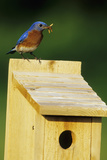 Eastern Bluebird Male with Mealworms at Nestbox Marion  Il