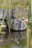 European Pond Turtle Hungary